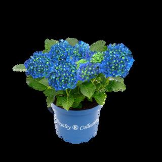 Royalty® Blue Power