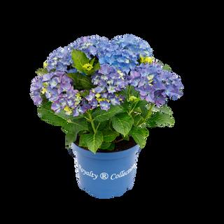 Royalty® Happy Blue