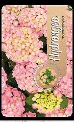 DeJongPlant_Etiketten_restyle Hydrangea macrophyllaV27.png