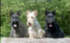 Scottish terrier west highland white terrie westie scottie dog dogs