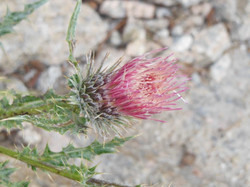 Red Thistle (2015)