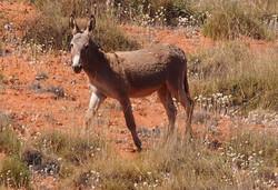 Australian Donkey