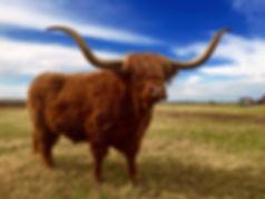 scottish cattl cow