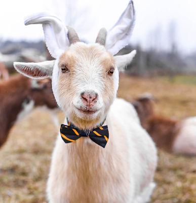 goat%20bunny_edited.jpg