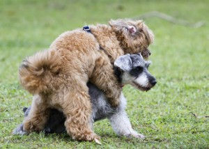 hond berijdt ander hond