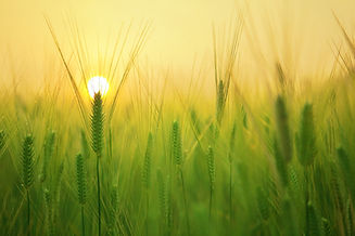 agriculture-barley-field-beautiful-20724