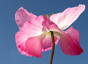 Lori Jacobs - Pink Flower.jpg