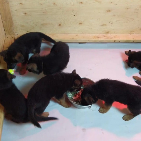 Puppies eating and playing