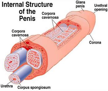 PenisStructure adj 2.png