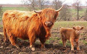 highland-cow-and-calf.jpg