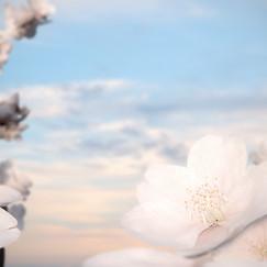 SakuraBlossom16compo3.jpg