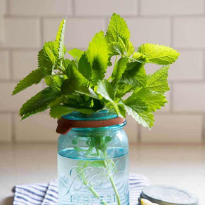 Creative Uses for Lemon Balm When it Takes Over Your Garden!