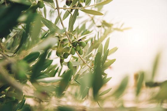 detail-of-olive-tree-YZSU6CD.jpg