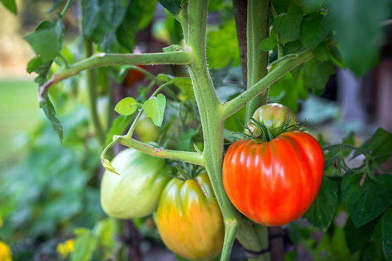 fresh-organic-tomatoes-in-garden-PCVY2YZ
