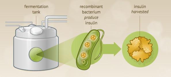 דוגמא לייצור אינסולין על ידי בקטריה