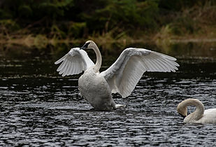 swan 1-SharpenAI-sharpen.jpg