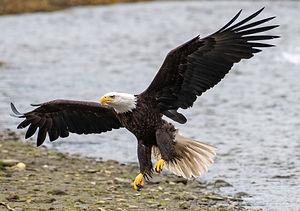 eagle (1 of 1)-DeNoiseAI-clear-SharpenAI