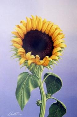 Luri's Sunflower