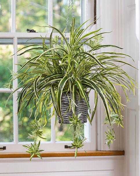 spider-plant.jpg
