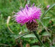 Knapweed - Commom