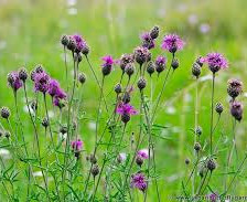 Knapweed - Greater