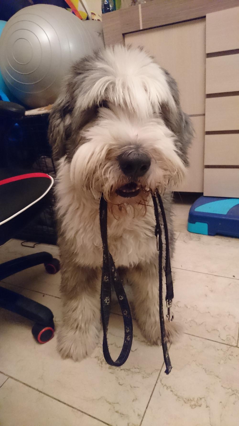 Dostępna na wysokości głowa psa smycz może pomóc mu w wyrażaniu prośby o wyjście na spacer