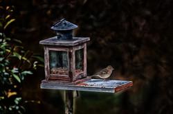 Oiseau Grabels