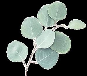 eucalyptus-01.png