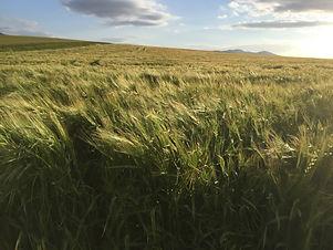 Barley 1.JPG
