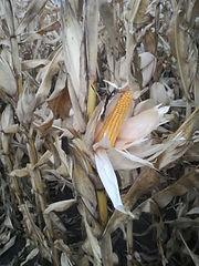 Maize 3.jpg