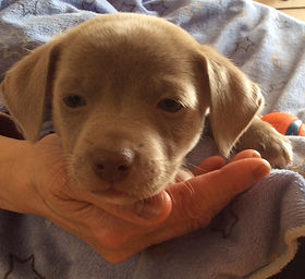 Earl Grey (puppy from Jodie)