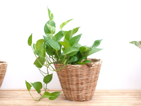 How to Grow and Take Care of your Money Plant