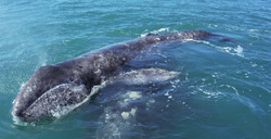 ballena gris 01.jpg