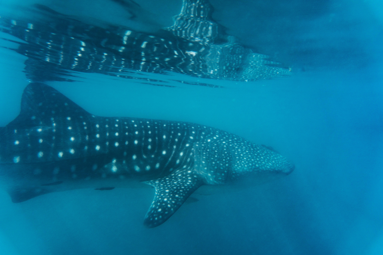 tiburón_ballena_08.jpg