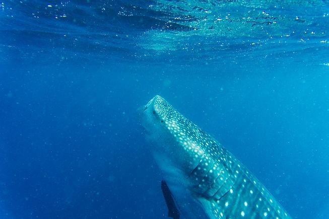 tiburón_ballena_01.jpg