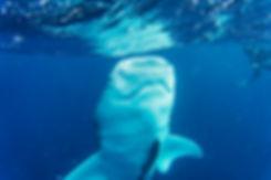 tiburón_ballena_02.jpg