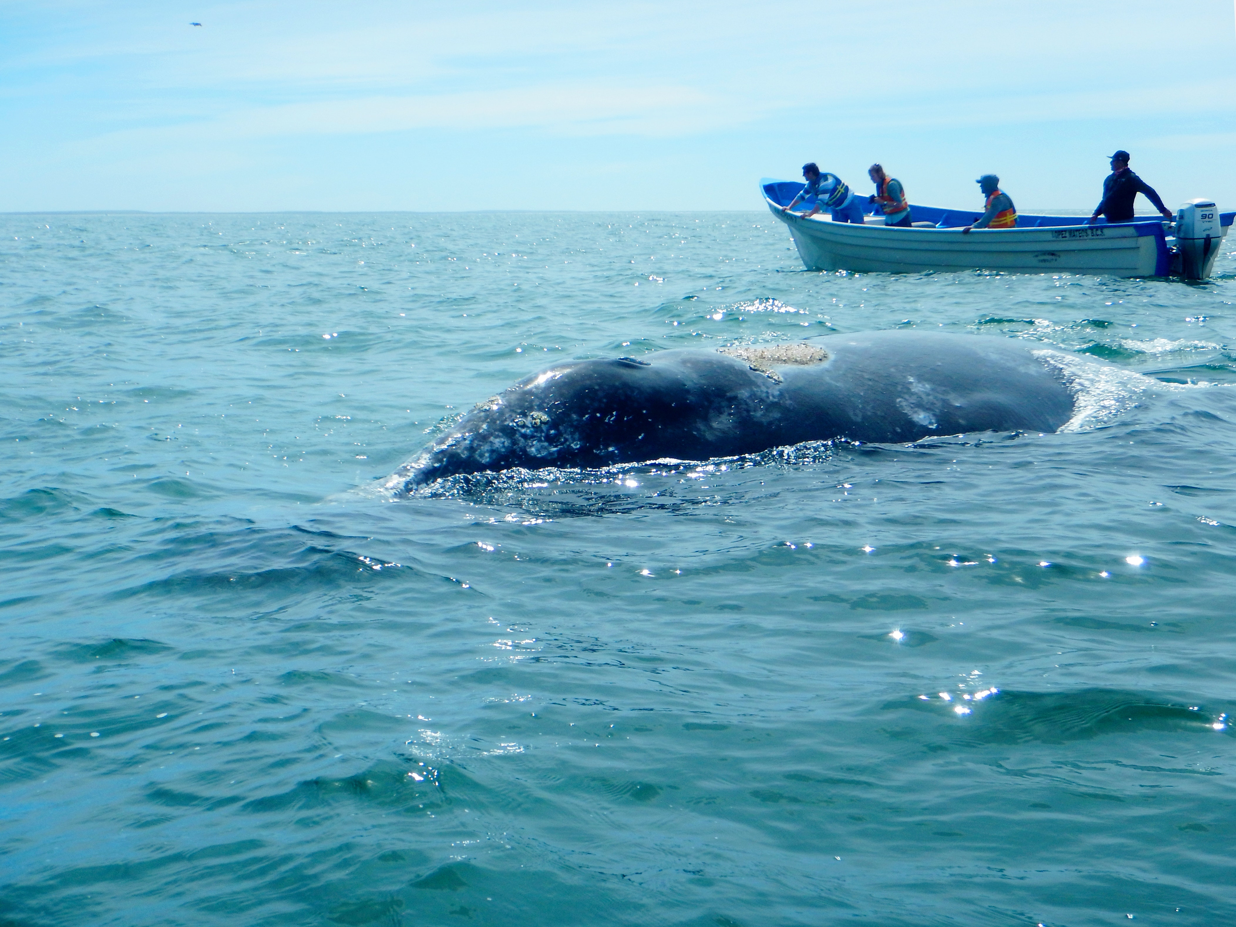 ballena-gris-3.jpg