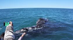 ballena gris 03.jpg