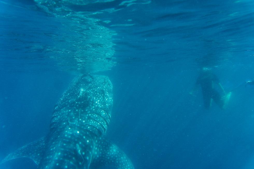 tiburón_ballena_23.jpg