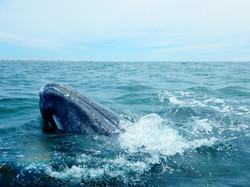 ballena-gris-2.jpg