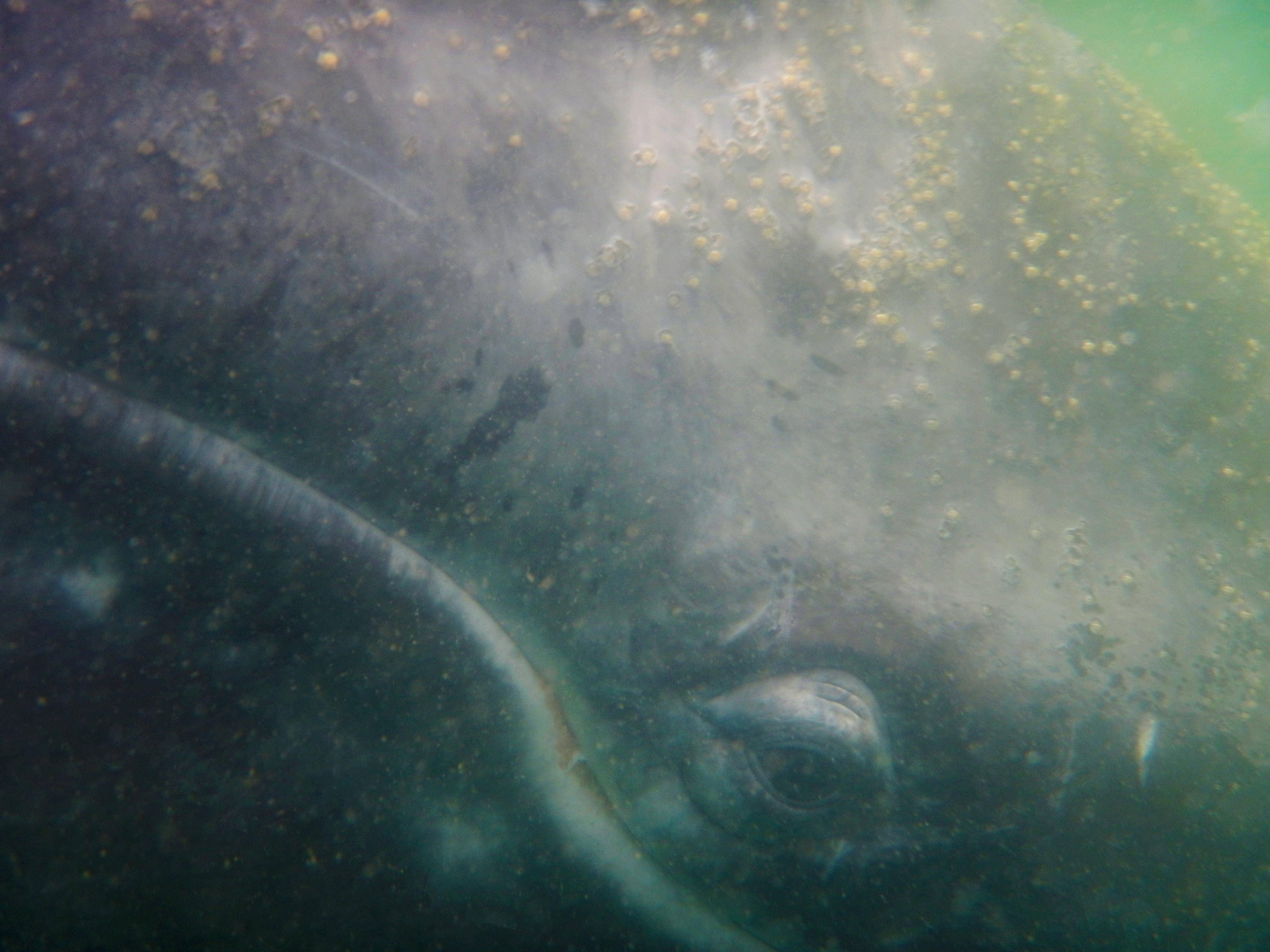 ballena-gris-6.jpg