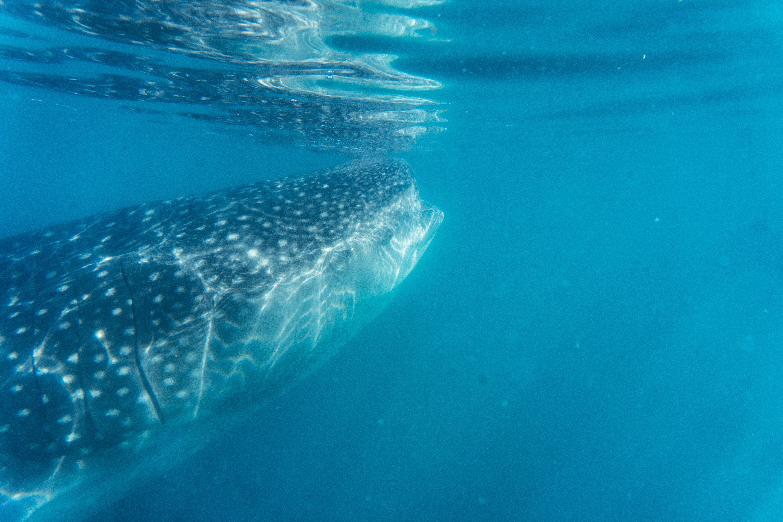 tiburón_ballena_13.jpg