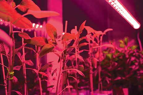 ashdown_far-red-lighting-grow.jpg