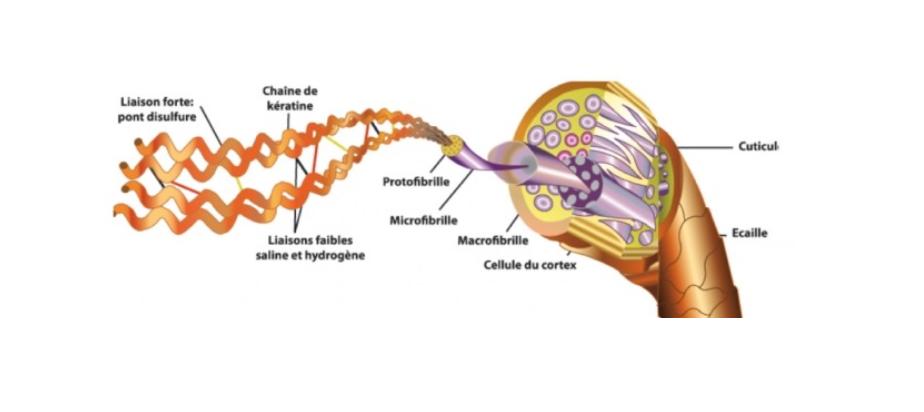 Schéma protéine de kératine