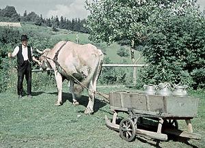 Kuh mit Milchkannen-Schlitten