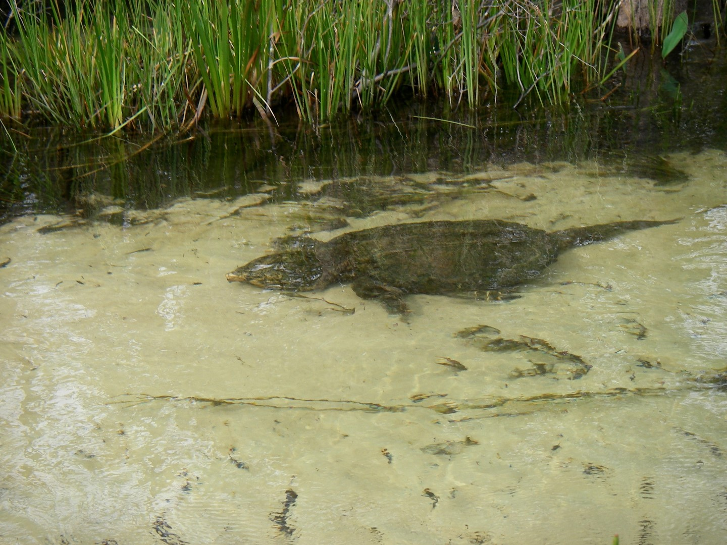 Little Boiling Creek - Snapping Turtle