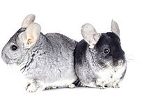 Chinchilla cages, chinchilla pet sitting