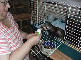 ferret cages, ferret pet sitting