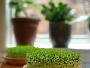 Ever tried to make Microgreen with Chia Seeds?
