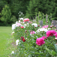 Banner Peonies along fence.jpg